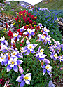 Yankee Boy Columbines